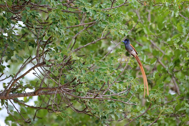 Male African Paradise Flycatcher - Sabi Sands, South Africa, 2012