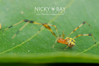 Comb-footed spider (Chrysso sp.) - DSC_4759
