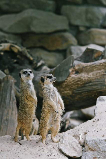 compare the meerkat