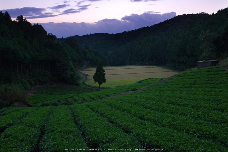 山添村,お茶畑(K70_1029G,18 mm,F8,iso100)2016yaotomi