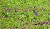 Eurasian Stone-curlew (Burhinus oedicnemus) by jonnobird (Catching up after Cyprus)