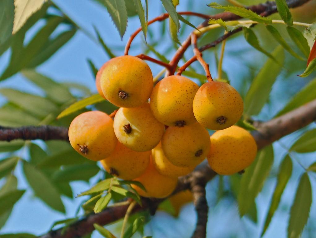 Rosaceae - Sorbus domestica