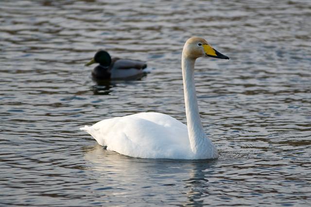 Swan in Trondheim