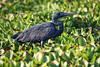 6133 Humblot's Heron by Cliff Buckton