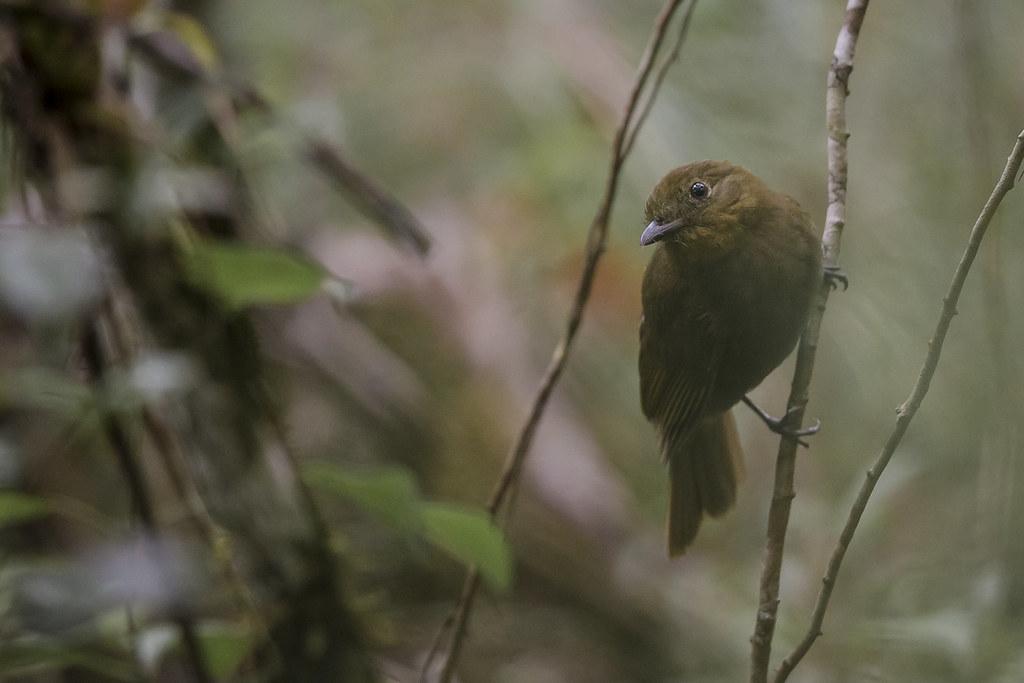 Thrush-like Schiffornis - Schiffornis turdinus - Belize