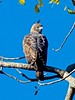 Changeable Hawk Eagle (Nisaetus  limnaeetus) by Suri JV (on and off)