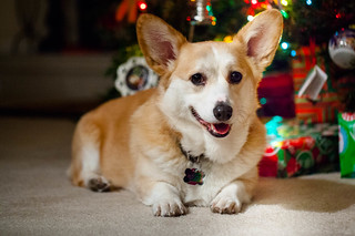 Another Corgi Christmas | by trustypics