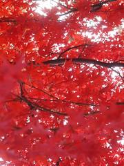 日, 2012-11-18 16:23 - Central Parkの紅葉