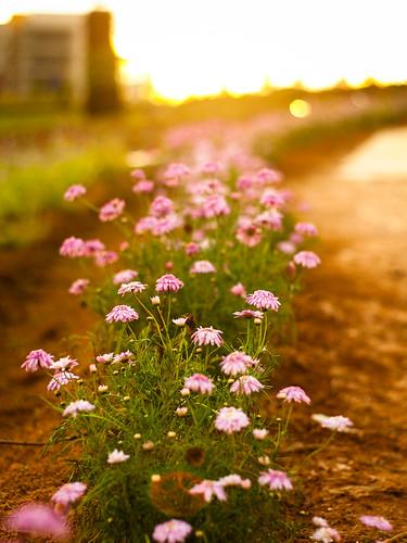 sunset flower 50mm bokeh farm olympus om 18 nantou