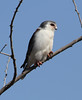 African Pygmy-falcon by Wild Chroma
