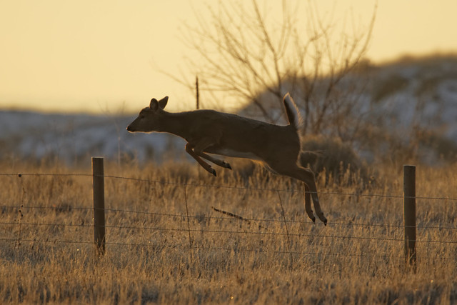 Doe jumps fence, with strong backlight.