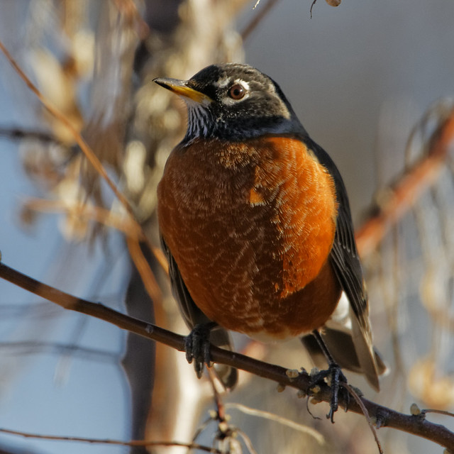 American robin poses for me