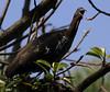 Wattled Ibis calling by Wild Chroma