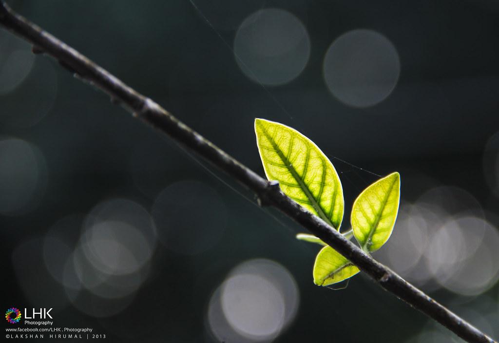 One Last Leaf    One Last Hope   Lakshan Hirumal   Flickr