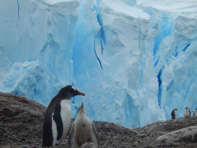 Gentoo Penguins, Neko Harbor Antarctica