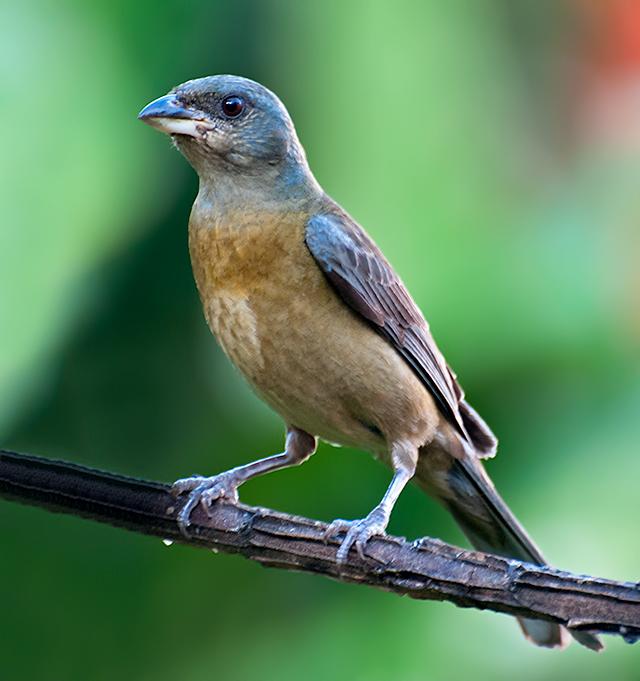 SANHACU-PAPA-LARANJA  (Pipraeidea bonariensis)