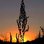 Winter Light Sage