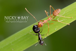 Red Weaver Ant vs Crematogaster sp. - DSC_3746