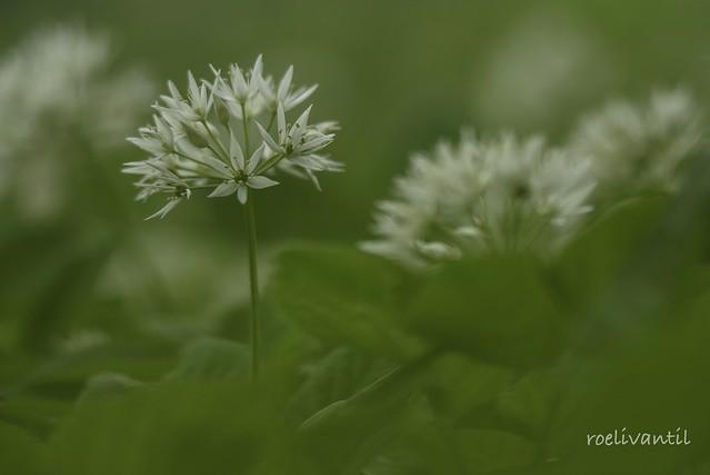 Daslook/Wild garlic