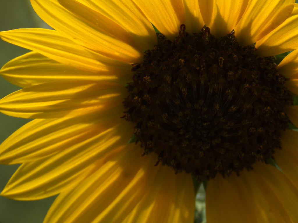 2018-06-24 TRAC | Sunflower | Chad | Flickr