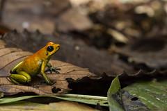 Black-legged Poison Frog (Phyllobates bicolor)