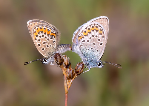Silver-studded Blue | by chaz jackson