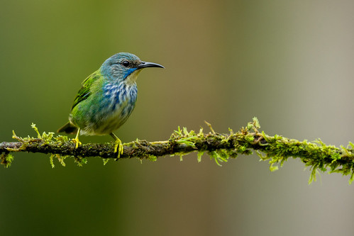 Shining Honeycreeper ♀