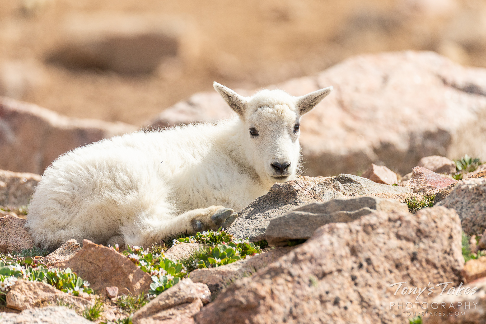 Little one lounging in the alpine tundra
