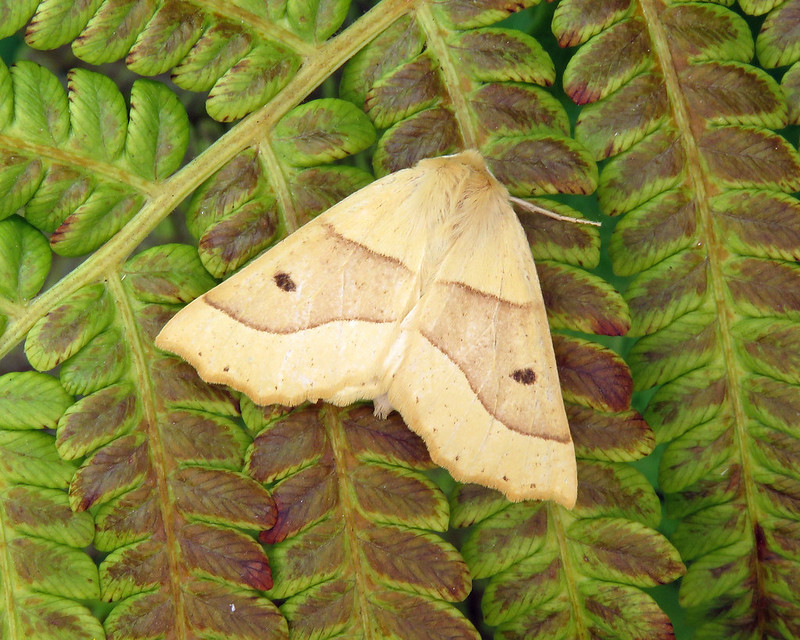 70.241 Scalloped Oak - Crocallis elinguaria