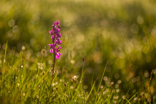 Early Purple Orchid, Early Morning