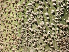 Ceiba pentandra...espino de ceibo