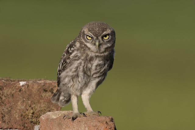 Civetta - Civetta - Little Owl