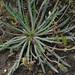Plantago coronopus - Photo (c) Werner Witte, algunos derechos reservados (CC BY-NC)