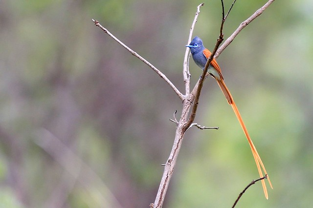 African Paradise Flycatcher - Sabi Sands, South Africa, 2012