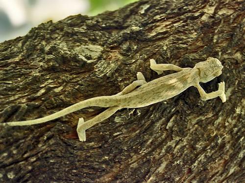 Chamaeleonidae - Chamaleo chamaleon | by Ettore Balocchi