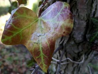 Ivy Leaf with cobweb