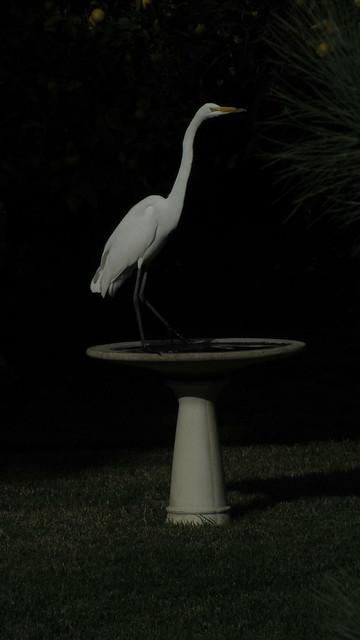 IMG_4986 great egret birdbath