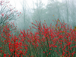 November Berries, Maine | by LibertyforCaptives