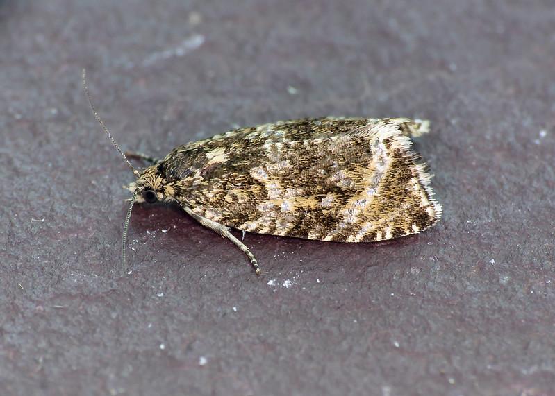 49.166 Celypha lacunana