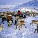 Reindeers in Kirkenes, Norway