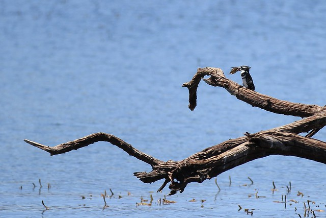 Success at last! - Kingfisher with a little fish in its beak. Pilanesberg, South Africa, 2012