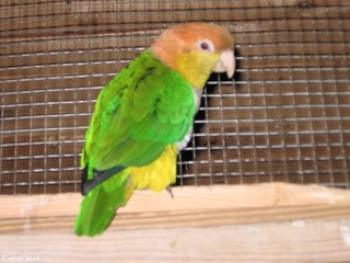 White-bellied caique (1st of 2 photos)