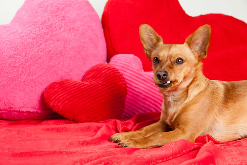 Valentine's Day Mixed Breed Brown Dog with Hearts 2   by Found Animals