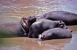 Hippos (Hippopotamus amphibius)   by berniedup