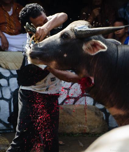 Buffalo sacrifice at Toraja funeral ritual | by Jerome Nicolas