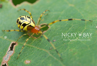 Comb-footed spider (Chrysso sp.) - DSC_4780