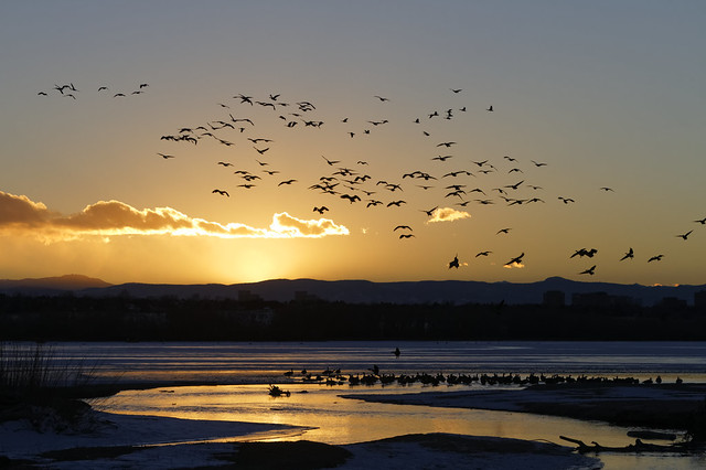 Gaggle of geese land in evening sun.