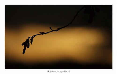 trees winter sunset hans alder uden koster coth elzen maashorst elzenkatjes hknatuurfotografienl leijgraaf alderkitten