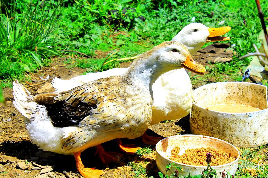 Resultado de imagen para patos comiendo