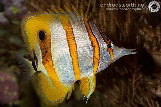 Kupferstreifen-Pinzettfisch - Copperbanded Butterflyfish - Chelmon rostratus
